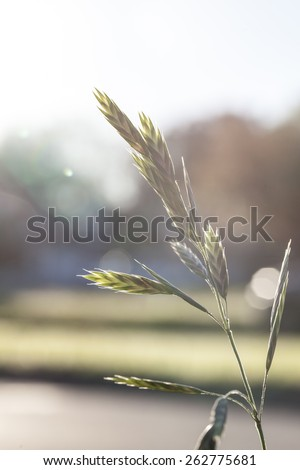 Stock photo of a overgrown blade of grass and its seeds backlit by the Sun at the very beginning of the Spring season. - stock photo