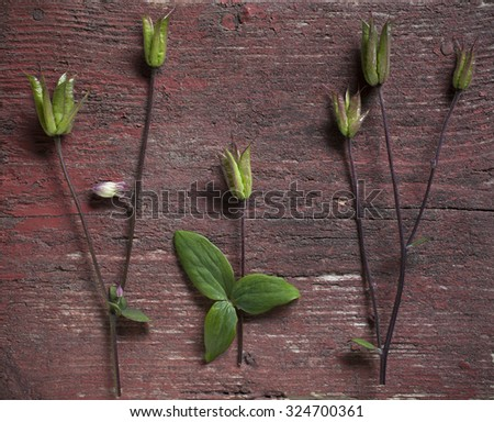 Stock photo of Columbine stems and green fruits on worn red background. - stock photo