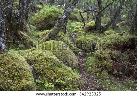 Stock photo of crooked birch forest with rocks covered by green moss.  - stock photo