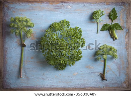 Stock photo of green angelica umbels at old wooden painted background.