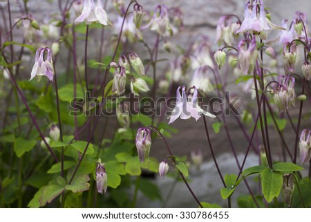 Stock photo of many flowering columbines (aquilegia).  - stock photo