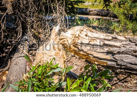 Stock photo of tree cut by beavers