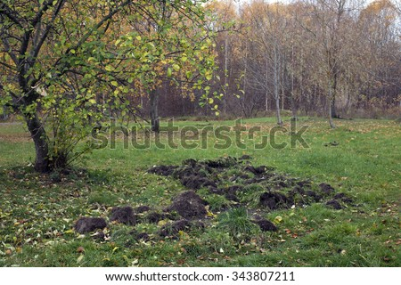 Stock photo of wild boar spoor under apple-tree: animals have rooted up ground in search of food. Photographed in urban green area, Estonia.  - stock photo
