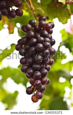 Stock Photo - Seedless grapes ripen on the tree - stock photo