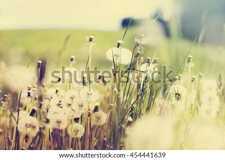 Stock Photo: Summer background with Dandelion meadow  - stock photo