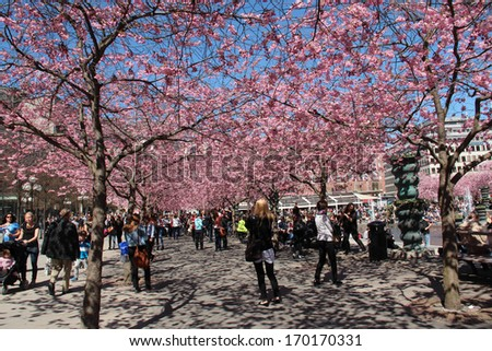 STOCKHOLM, SWEDEN - May 7: Blossoming cherry trees in central Stockholm a sunny spring day, shown on May 7, 2013 in Stockholm.  - stock photo