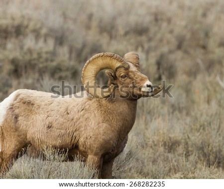 Stocky Bighorn Sheep Standing in the Sage Brush.  Taken in Jackson Hole Wyoming. - stock photo