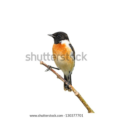 Stone Chat bird sitting on a branch on white background - stock photo