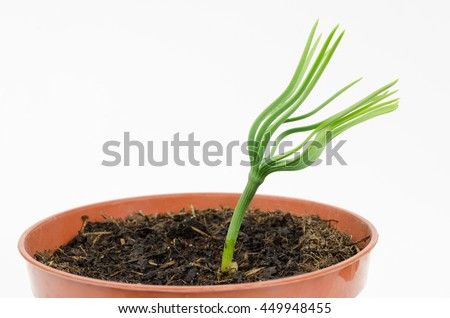 stone pine seedling spreads it's first needles - stock photo