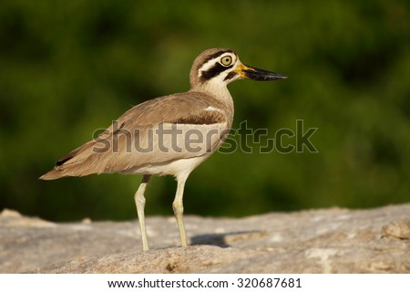 Stone plover bird also known as Great Stone-curlew or Great Thick-knee, photographed against the green background - stock photo