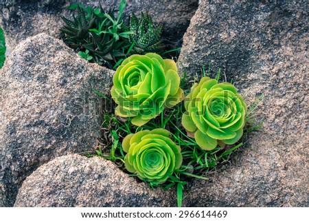 Stone succulent roses - stock photo