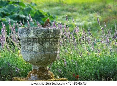 Stone urn with Robin perched on the edge with lavender in the background English garden - stock photo