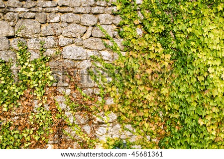 stone wall covered with grape leaves - stock photo