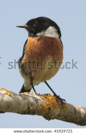 Stonechat (Saxicola torquata), a small bird (male) - stock photo