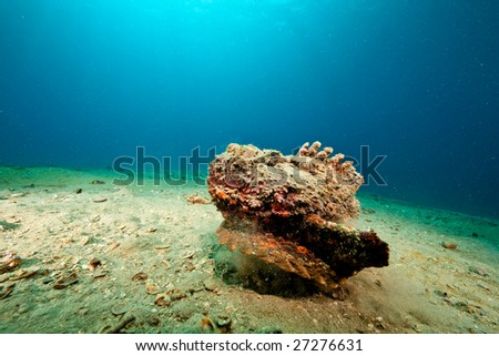 stonefish (synanceia verrucosa) - stock photo