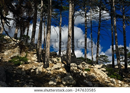 Stones in the coniferous forest in the foothills - stock photo