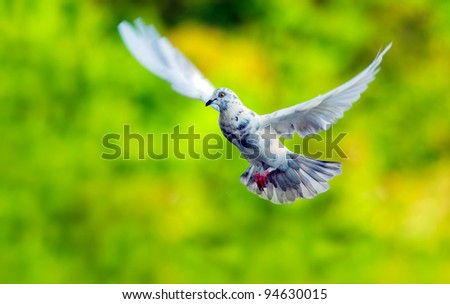 Stop action pigeons flying in the air - stock photo