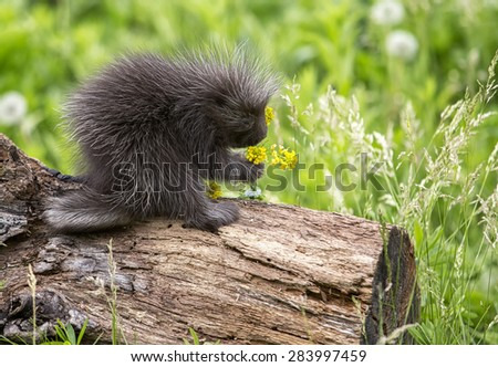 Stop and take the time to smell the flowers.  A baby porcupine does just that. - stock photo