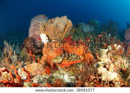 Stoplight Parrotfish - stock photo