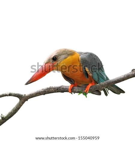 Stork-billed Kingfisher, Halcyon capensis, perching on the tree waiting for fishing on white background