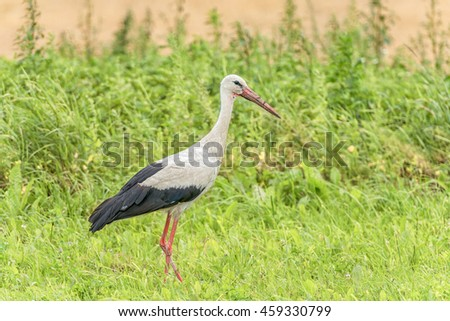Stork is Walking on the grass in rural area. Dirty Beak. Portrait.