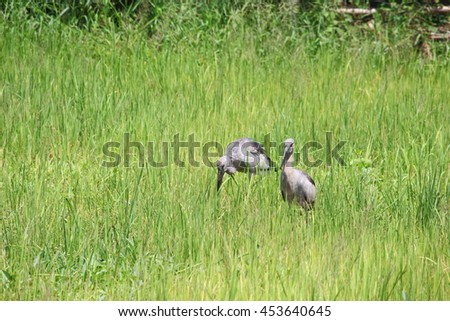 Stork select focus with shallow depth of field, in green cornfield.