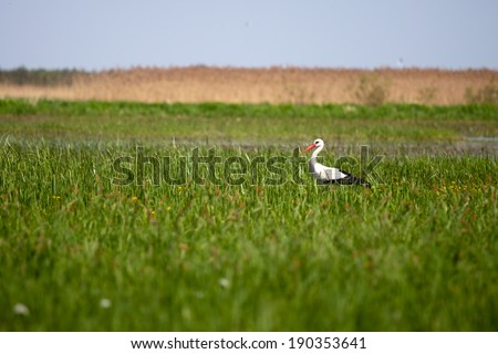 Stork standing in a high grass - stock photo