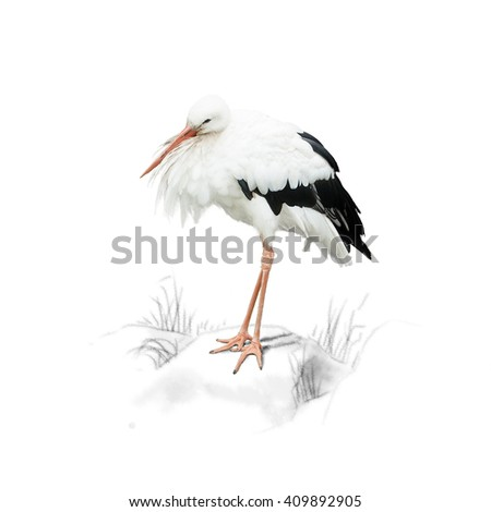 Stork standing on a rock, isolated on white background - stock photo