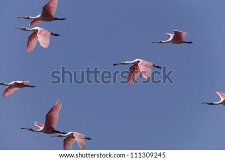 Storks flying over blue sky, USA - stock photo