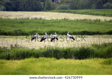 Storks in the meadow