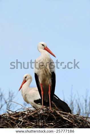 Storks sitting on their nest against a blue sky - stock photo