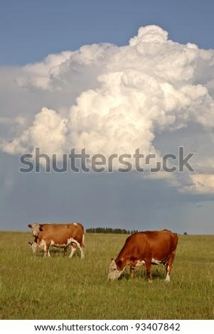 Storm clouds behind Saskatchewan cattle - stock photo