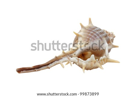 STOUT-SPINE MUREX or  Murex trapa Roding in ISOLATED white