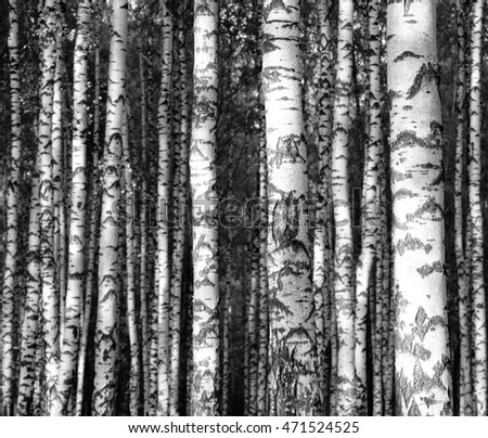 Straight birch trunks black and white