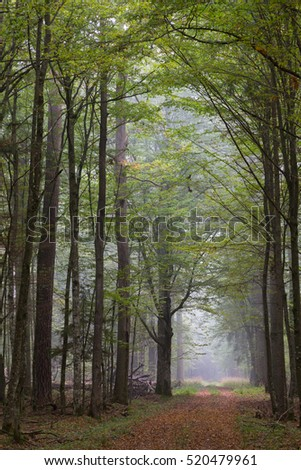 Straight ground road leading across misty autumnal deciduous stand with old trees,Bialowieza Forest,Poland,Europe
