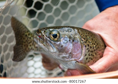 Straight on close up of a brown trout after being caught held in hands