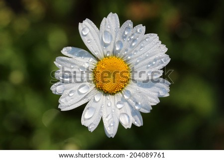 Straight-on shot of white daisy head with water droplets against blurred background - stock photo
