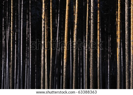 Straight tree trunks in pine forest - stock photo