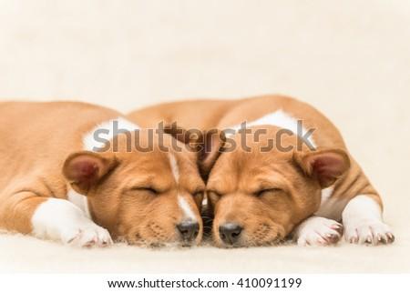 Straight view of sleeping basenji puppies sleeping on a soft blanket cuddling  - stock photo