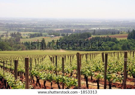Straight vineyard rows in Spring