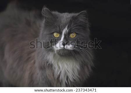 strange cat with big yellow eyes looking right into the camera. Isolated on black - stock photo