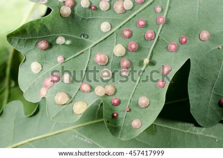 strange discs on oak leaf (gall wasps, plant galls) - stock photo