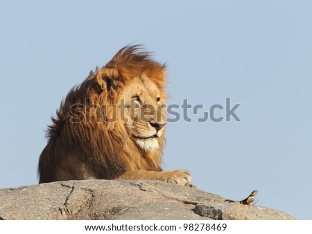 Strange fellows. Male lion lays with lizard.The lion and the lizard. - stock photo