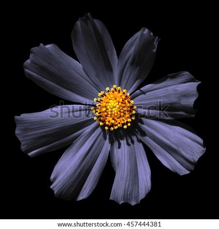 Strange grey surreal flower Primula macro isolated on black - stock photo