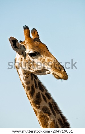 Strange looking giraffe and a blue sky - stock photo