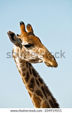 Strange looking giraffe and a blue sky - stock photo