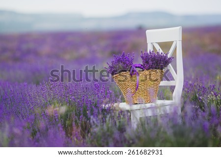 straw basket with lavender flowers on white chait standing in lavender field - stock photo