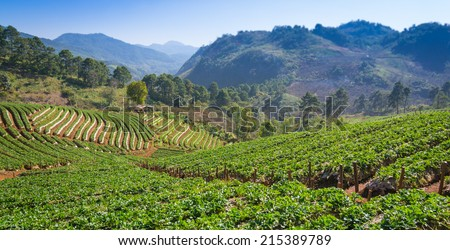 Strawberries Farm Of Ban Norlae Chiang Mai, Thailand - stock photo