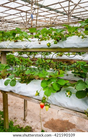 Strawberries growing in lines in greenhouse farm, Cameron highlands, Malaysia