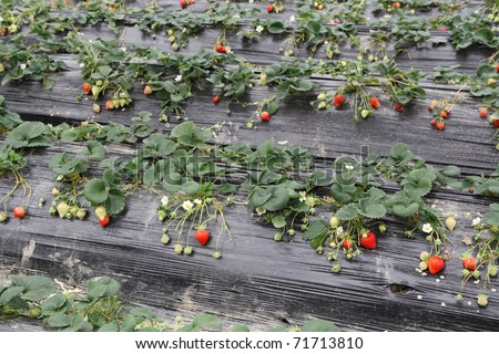 strawberries grown in the mulch plastic film - stock photo